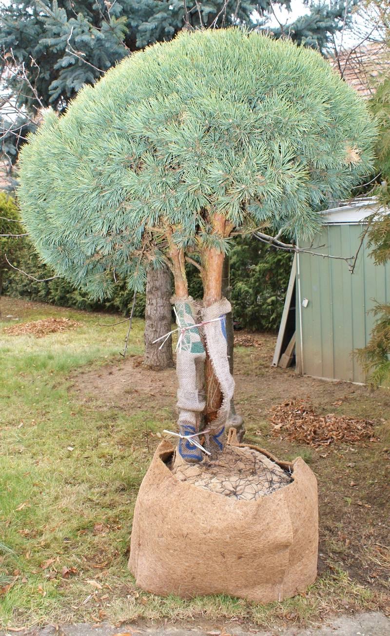 garten bonsai winterhart home image ideen. Black Bedroom Furniture Sets. Home Design Ideas