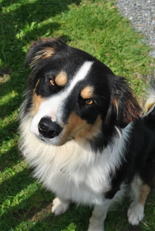 Hund Border Collie Appenzeller Treibhund Hutehund Welpen
