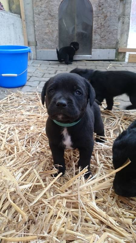 Welpen labrador sennenhund mix Labrador Welpen