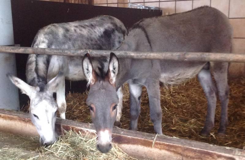 Ganz und zu Extrem Esel kaufen - auf www.landwirt.com #XZ_12