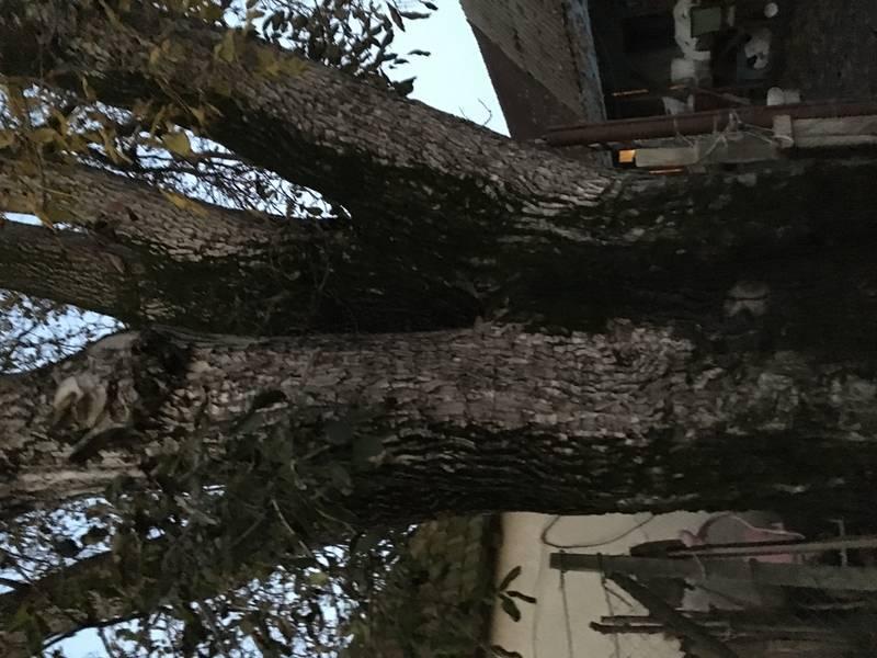 Nussbaum Stämme