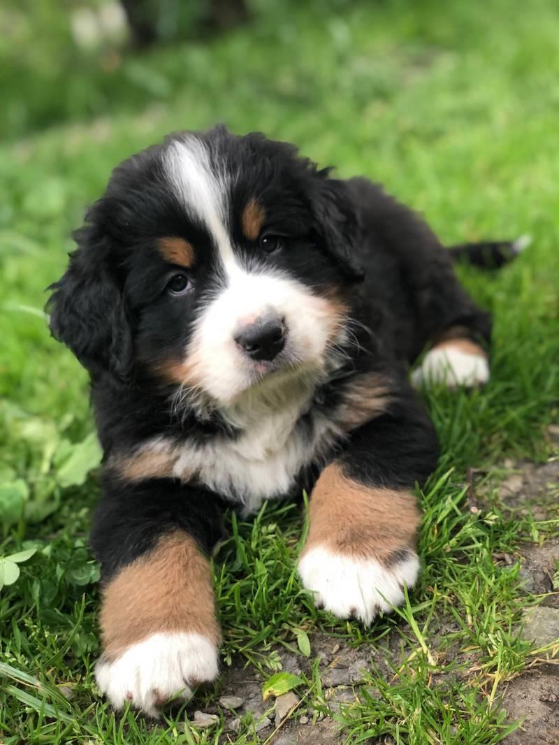 Beliebt Bevorzugt Berner Sennenhund kaufen - auf www.landwirt.com &OR_89
