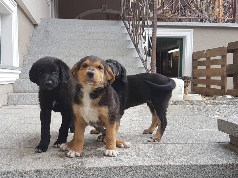 Hundewelpen Border Collie Golden Retriever Mischlinge