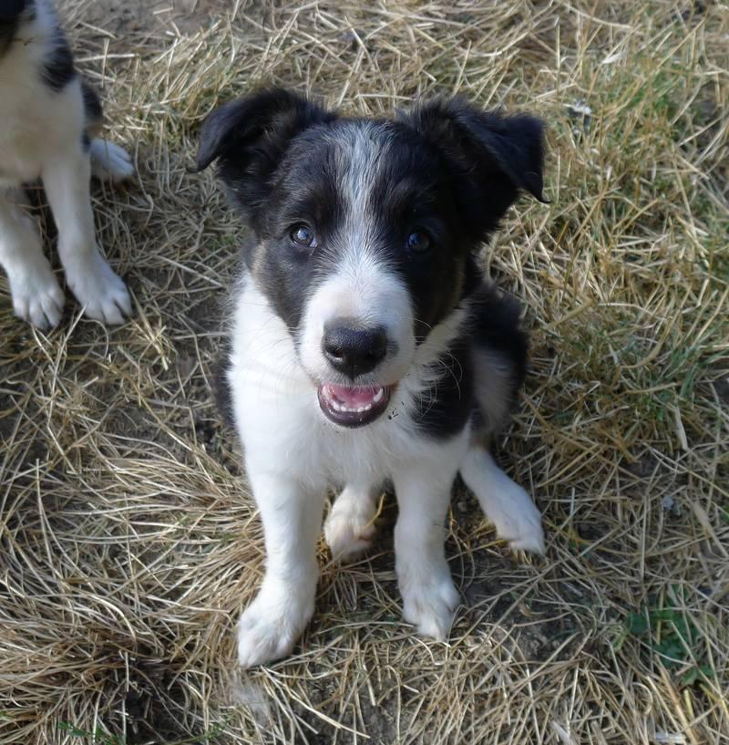 3 Border Collie Hundinnen Aus Arbeitslinie Abzugeben