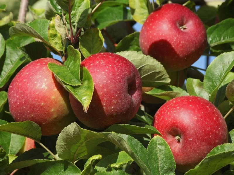 äpfel Zum Selberpflücken
