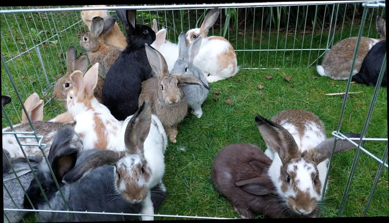 Jungkaninchen Junge Kaninchen kaufen   Landwirt.com