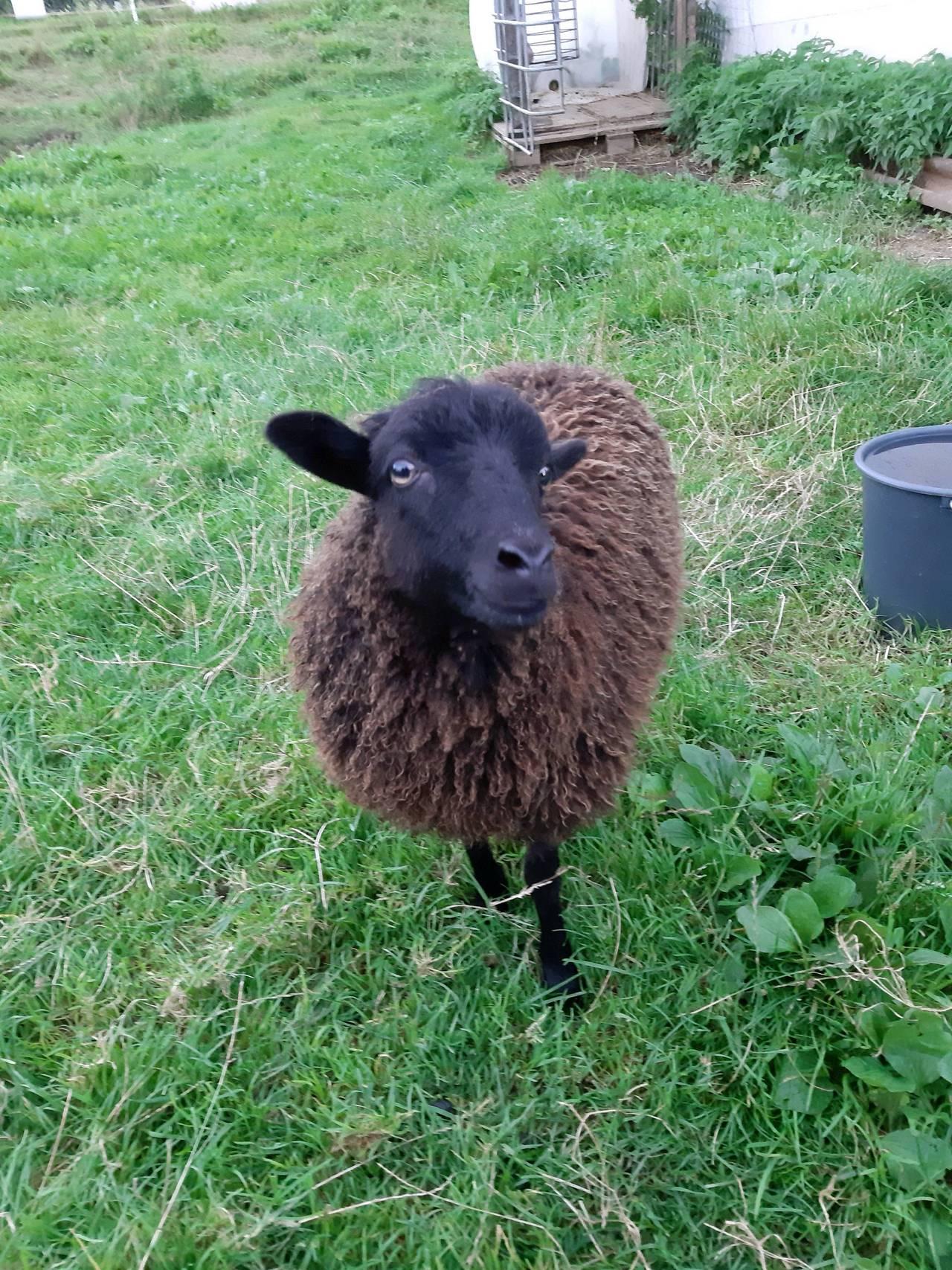 Sonstige Schafrassen: Ouessant Mini Schaf kaufen