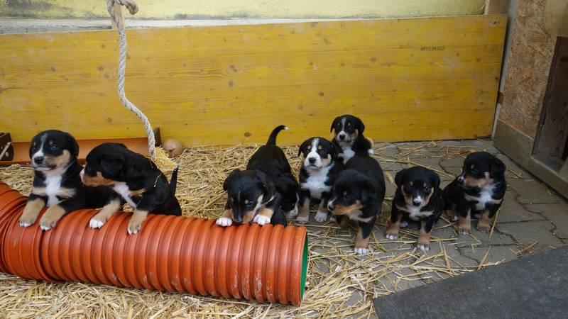 Welpen Entlebucher Appenzeller Mix Sennenhunde