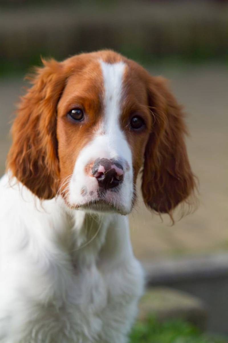 Irish red and white setter Welpe