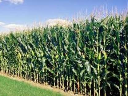 Wir kaufen Ihren Mais