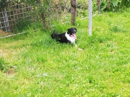 Verkaufe Border Collie Hundin